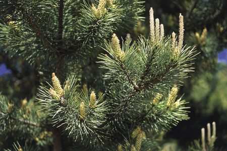 How to Grow and Care for a Scots Pine Tr