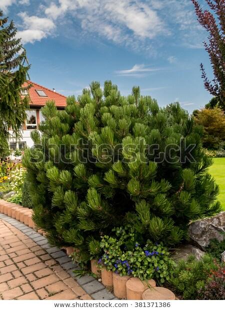 Beautiful Golden Pine Growing House Garden Stock Photo (Edit Now .