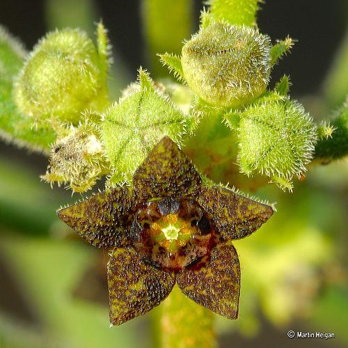 Brachystelma dinteri flower   Unusual flowers, Flowers, Cactus and .